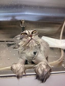This cat who can't even take a decent shower.   The 40 Most Awkward ...