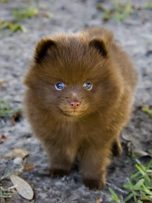 Pomeranian Wallpapers, Pictures & Breed Information
