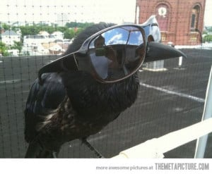 Funny photos funny crow wearing sunglasses