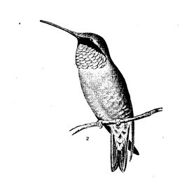 Hummingbird Quotes From Nature Delineated