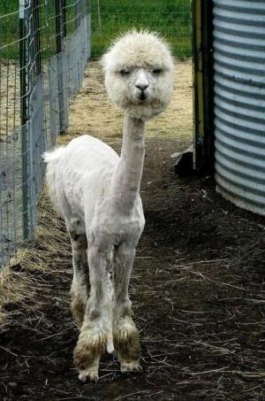 Funny photos funny llama alpaca haircut