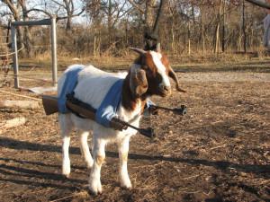 Funny Goats Pictures | Funny Goats Pictures free wallpaper