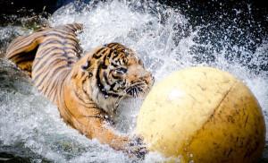 Tigers Glitters (34)