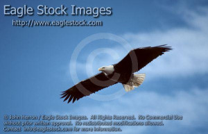 bef062635-40n^ - Beautiful Bald Eagle In-Flight