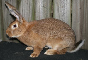 Related Pictures flemish giant rabbit from brookfield ma