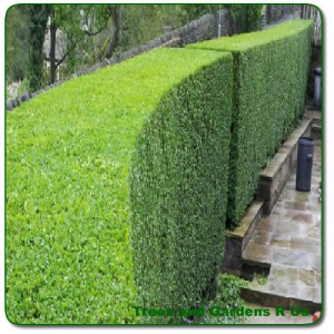 hedge trimming in hull from trees and gardens r us hedge trimming in