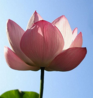 The Exquisite Pink Lotus