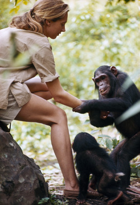 Jane Goodall gradually won the trust of the Gombe chimps, enabling her ...