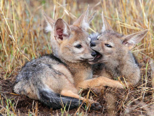 ... for fun are a couple photos of jackal pups. Babies are always cute