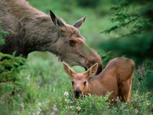 mother-moose-with-calf-boreal-forest-alaska-pictures