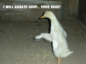 Funny Chickens (23)