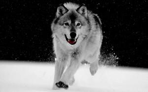 Big Wolf Gray Wallpaper
