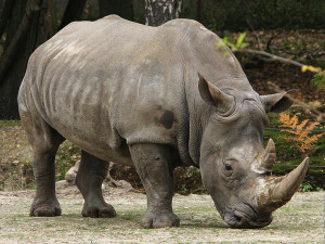 Rhino Horn: A battlefield in black and white