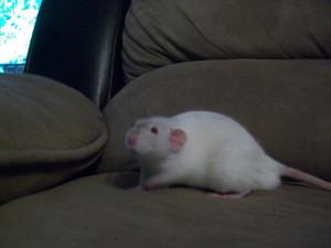 My pet Rats-100_4564.jpg