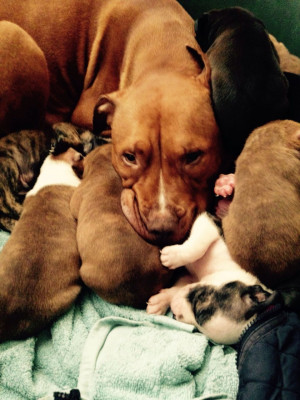 ... blue blood lines £ 50 posted 3 months ago for sale dogs alapaha blue