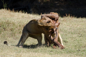 Lions Fighting Hyenas And Over