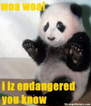 poor panda looks scared endangered panda