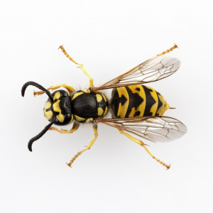 Bees Wasps and Hornets