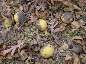 ... many parts of the country, large black walnut trees growing in the