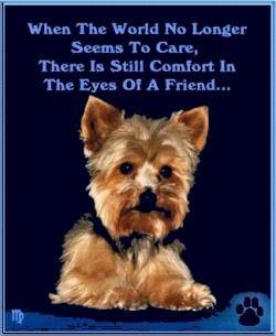 yorkie yorkshire terrier dog