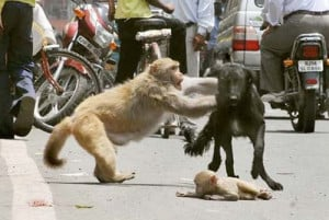 very funny - dog and monkey attacking in road
