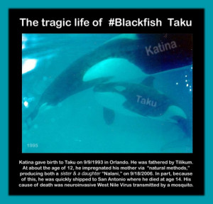Twitter / jeffrey_ventre: Taku was a great young #Blackfish ...