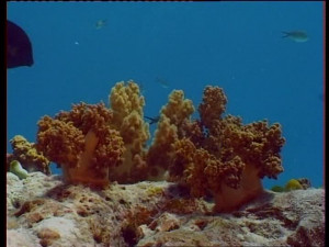 SD Underwater Shot Plant Maldives Stock Video 582 315 727