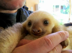 ... Then By Having 22 Incredibly Cute Pictures Of Baby Sloths To Enjoy