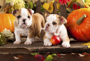 english-bulldogs-puppies