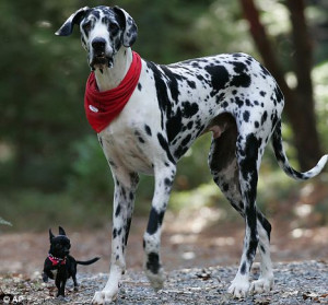 Great Danes and Chihuahuas are the most destructive dogs to have in ...