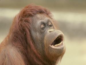 El genoma del orangután es más variado que el de los humanos