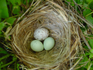 Baby Bird Egg Nest