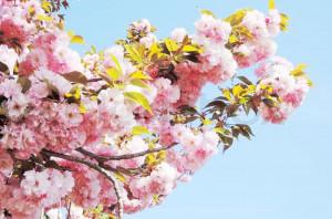 Japanese Cherry Blossoms Spring