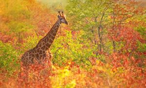 """Giraffe cruising through the fall foliage. """"Winter is an etching ..."""