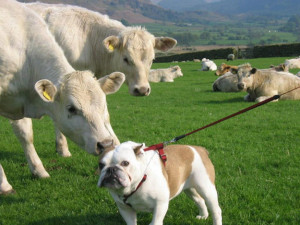 This dog who is the object of this seductive cow's affection