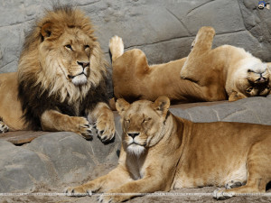 Animals Quotes Wallpaper Lions Skyscapes Pictures