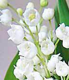 Flower Lily Lilly Of The Valley
