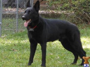 Black German Shepherd Police Dog