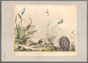 William Bartram Botanical Drawings