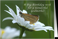 Big Birthday Wish for a Godmother, Butterfly in a White Daisy card ...