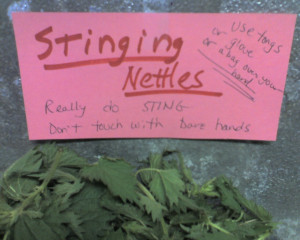 stingy nettles