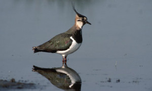 lapwing wades in shallow water. The UK populations of four wading ...