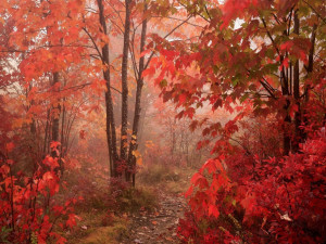 fall-Nature_Forest_Red_Autumn_forest_011599_