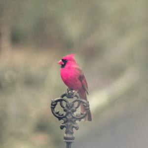 RED CARDINAL BIRD Fine Art Photography Male Cardinal Print Vibrant Red ...