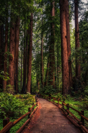 Redwood Path ~ John Muir Trail, California by Justin in SD~~