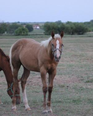 Manitoba Paint Horse Breeders