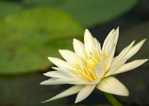 123800d1347086642-water-lily-water-lily-pics-700-x-525.jpg