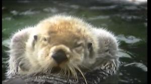 SD Sea Otter / Cleansing / Alaska – Stock Video # 590-414-319