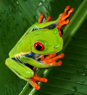 green and orange rainforest frog