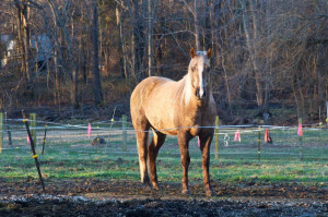 Chocolate Palomino Color Horse